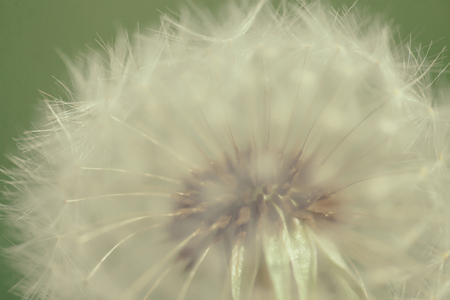 insemination: soft dandelion flower round shape white color with delicate seeds on blurred green natural background
