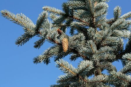 pinecone: pinecone handle on green color fir tree evergreen pine or spruce with needles sunny day outdoor on natural blue sky background, copy space