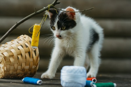 straw twig: cute small lovely curious baby cat or kitten with white color spotted fur and whiskers playing with thread on twig near straw basket wooden background outdoor