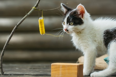 whiskers: cute small lovely curious baby cat or kitten with white color spotted fur and whiskers playing with thread on twig near wood cube on wooden background outdoor