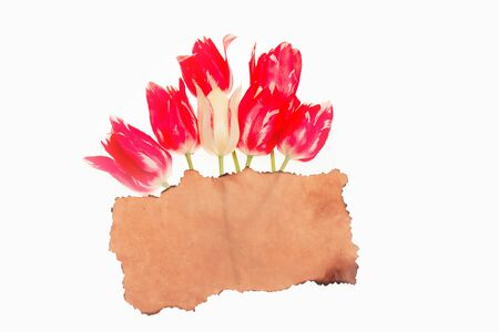 scorched: seasonal tulip flower bouquet red color on green stem with scorched paper in spring isolated on white background, closeup, copy space