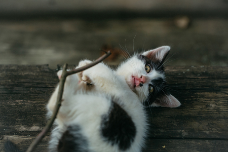 spotted fur: cute small lovely curious baby cat or kitten with white color spotted fur and whiskers playing with wood twig on wooden background outdoor