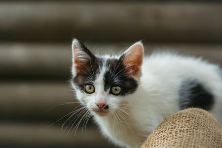 spotted fur: cute small lovely curious baby cat or kitten with white color spotted fur and whiskers on wooden background outdoor Stock Photo
