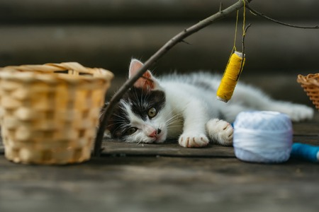 whiskers: cute small lovely curious baby cat or kitten with white color spotted fur and whiskers playing with thread on twig near straw basket wooden background outdoor