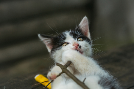 whiskers: cute small lovely curious baby cat or kitten with white color spotted fur and whiskers playing with thread on twig on wooden background outdoor