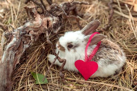 exposed: Cute little rabbit with heart of pink paper with ribbon on ear and exposed roots on hay on natural background Stock Photo