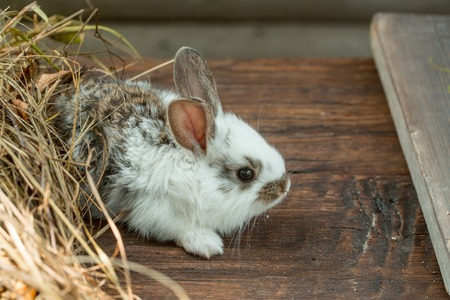 spotted fur: Cute rabbit domestic pet with fluffy spotted fur land ong ears sitting near hay on wooden background Stock Photo