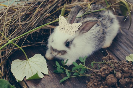 butterfly rabbit: Adorable rabbit pet with soft fur with beautiful butterfly plastic decorative pin on his head and green leaf of grape on hay and wooden background
