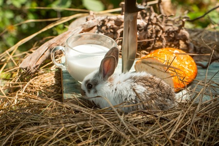 Little bunny with cute soft fur with domestic cup of milk knife and bread on hay on natural background