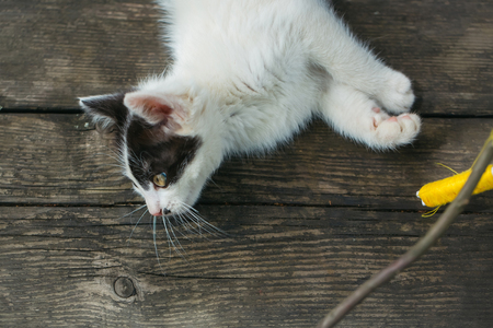 spotted fur: cute small lovely curious baby cat or kitten with white color spotted fur and whiskers playing with thread on twig on wooden background outdoor