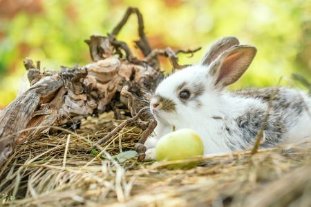 expose: Cute little bunny rabbit with yellow apple and tree exposed roots on hay on natural background