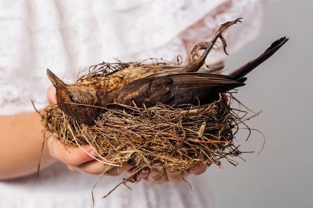 bird feathers: small brown color bird with fluffy feathers on wings laying in straw or wooden nest in female hands in studio Stock Photo