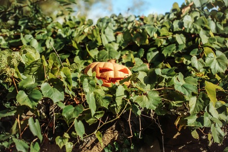 traditional climbing: halloween traditional autumn holiday symbol of orange pumpkin with cut spooky face sunny outdoor near stony wall with green climbing vine
