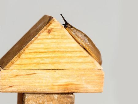 gastropod: Slug gastropod mollusc on roof of wooden toy house made of blocks on grey background Stock Photo