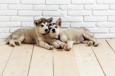 two cute adorable husky puppy or dogs domestic pet with black nose and gray soft fur laying on vintage wooden floor on brick white wall background, copy space Stock Photo