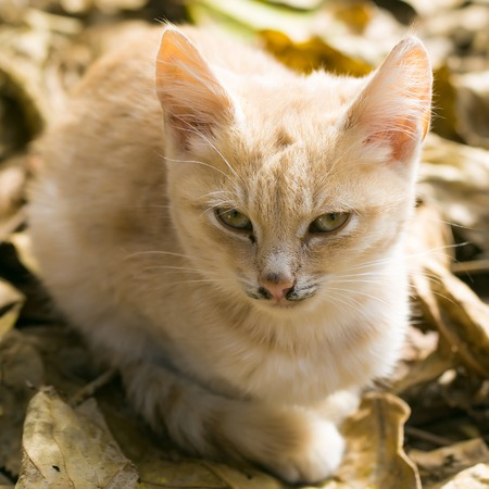 Cute cat or kitten pet with ginger colored coat lies on sunny day on yellow autumn leaves