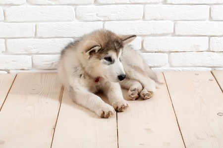 cute adorable husky puppy dog domestic pet with black nose and gray soft fur laying on vintage wooden floor on brick white wall background Stock Photo