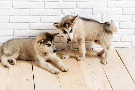 two cute adorable husky puppy or dogs domestic pet with black nose and gray soft fur laying on vintage wooden floor on brick white wall background