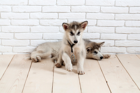 Adorable cute husky puppies domestic pet with black nose white and gray soft fur laying on vintage wooden floor on brick white wall background Stock Photo