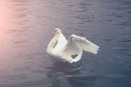 White mute swan waterfowl wild bird with orange beak and feather wings on river background 版權商用圖片