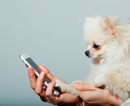 Cute pomeranian dog or puppy pet, with fawn coat using smartphone, mobile phone, in cute, faux fur cover in female hands on grey background