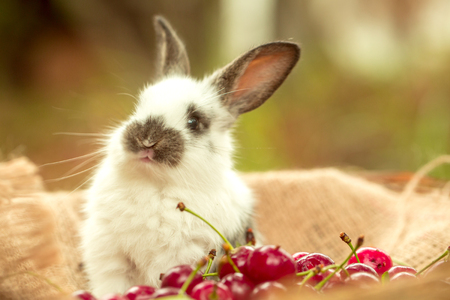 background: Cute rabbit small bunny domestic pet with long ears and fluffy fur coat sitting with red cherry, berries, on sackcloth on natural background