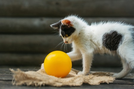 Cute kitten, cat pet, small domestic animal with furry coat, black and white, playing with yellow ball on wooden fence on sunny day outdoors on natural background Stock Photo