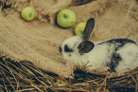 Cute rabbit, small easter bunny, domestic pet with long ears and fluffy fur coat sniffing yellow apples on sackcloth on natural hay background