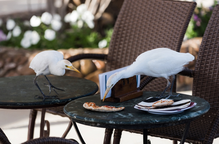 feed and feeder, wild birds with white feathers, plumage, and long, orange beaks eating pizza, food leftovers, from plate on tables with brown chairs in outdoor cafe on sunny summer natural background Stock Photo - 75680214