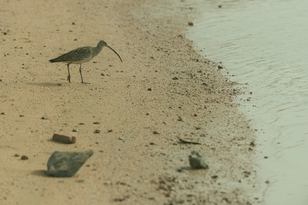 Cute grey bird, wild shorebird, walking on wet sandy beach along seashore, sea or ocean water coast on sand background. Wildlife and nature. Flora and fauna