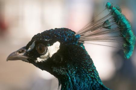 귀여운 공작 또는 공작, 조류, 자연 배경에 야외에서 문장으로 머리. 아름 다운 푸른 깃털, 무지개 빛깔의 사치스러운 깃털. 자존심, 왕족 및 영예