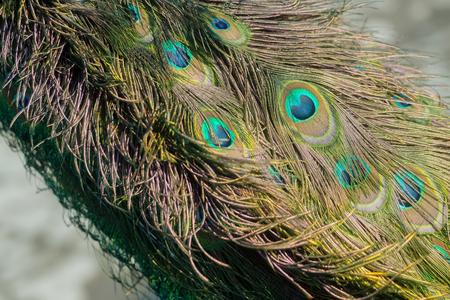 아름 다운 공작 새 깃털 또는 꼬리, 호사스러운 깃털, 공작, 파랑 및 녹색 eyespots 흐리게 자연 배경에 공작 새. 영광스러운 색소 스톡 콘텐츠