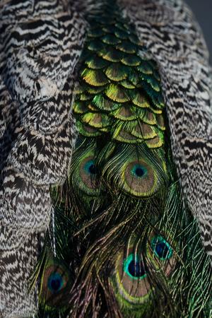 영광스러운 색소. 아름 다운 공작 새 깃털 또는 꼬리, 화려한 깃털, 무지개 빛깔의 파란색 및 녹색 eyespots 흐리게 자연 배경에 공작 새