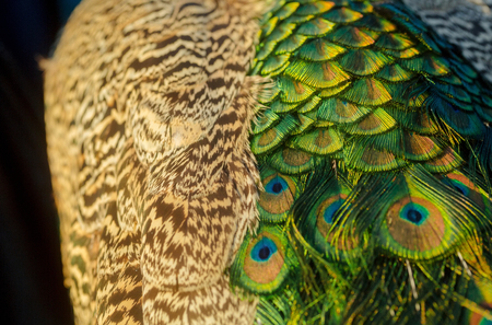 아름 다운 깃털이나 꼬리, 호기심 깃털과 공작 새, 무지개 빛깔의 파란색과 녹색 eyespots 자연 배경 흐리게에 황금. 영광스러운 색소