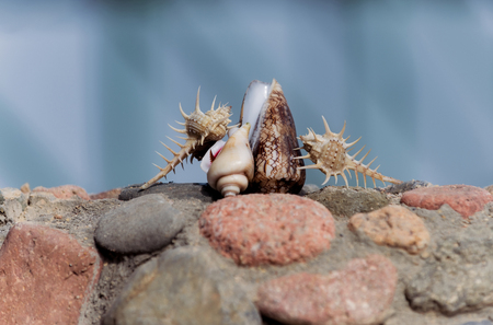 Beautiful thorn, cone and spiral conchs, marine shells or seashells, sea snails, crawling on grey and red stones, rocky surface, on sunny day on blurred natural background. Idyllic summer vacation
