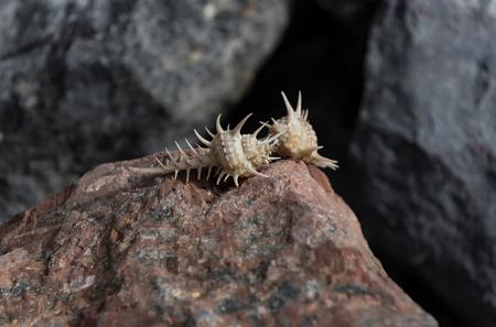 Love, life on mars. Beautiful marine shells or seashells, spiral conchs, crawling on natural, terracotta stone surface, rocky seashore on blurred, grey rock background. Idyllic summer vacation