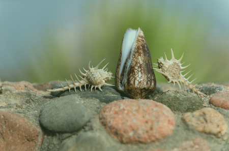 Beautiful thorn and cone conchs, marine shells or seashells, sea snails, crawling on grey and red stones, rocky surface, on sunny day on blurred natural background. Idyllic summer vacation, souvenir Stock Photo