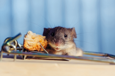 investment risk and crisis, cute house grey mouse or rat, small rodent animal, sitting at string mousetrap with bait indoors on blurred blue background. marketing, freedom and hopelessness concept Stock Photo