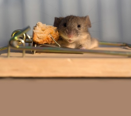 Cute house grey mouse or rat, small rodent animal, sitting at string mousetrap with bait indoors on blurred background, copy space Stock Photo