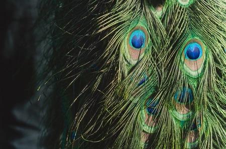 아름 다운 공작 또는 꼬리, 호기심 깃털와 공작 새, 무지개 빛깔의 파란색과 녹색 eyespots 흐린 된 자연 배경 깃털 배경. 영광스러운 색소