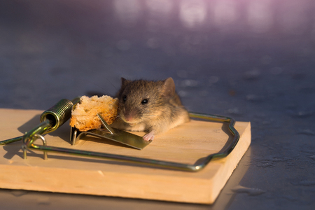 Cute house grey mouse or rat, small rodent animal, sitting at string mousetrap with bait indoors on blurred background Stock Photo