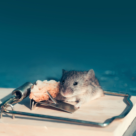 Cute house grey mouse or rat, small rodent animal, sitting at string mousetrap with bait indoors on blurred blue background, copy space