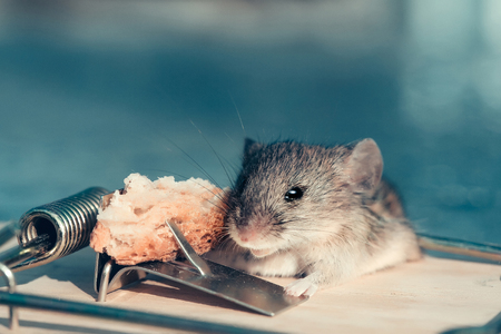 freedom and hopelessness, cute house grey mouse or rat, small rodent animal, sitting at string mousetrap with bait indoors on blurred blue background. marketing and crisis