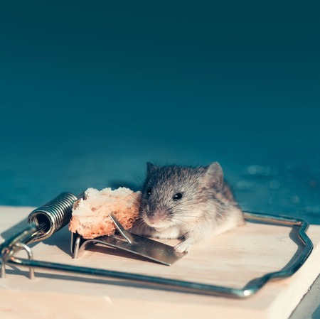 marketing and crisis, cute house grey mouse or rat, small rodent animal, sitting at string mousetrap with bait indoors on blurred blue background. freedom, hopelessness concept Stock Photo