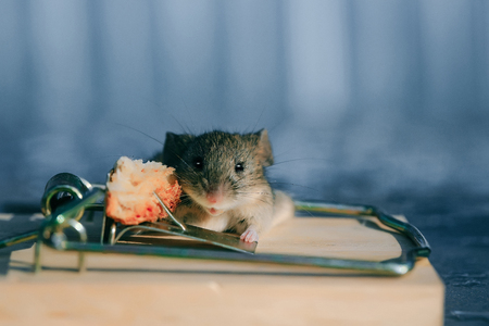 Cute house grey mouse or rat, small rodent animal, sitting at string mousetrap with bait indoors on blurred blue background. marketing and crisis, freedom, hopelessness concept Stock Photo