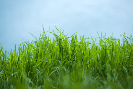 spring green grass on blue sky background as natural backdrop, ecology and environment, copy space