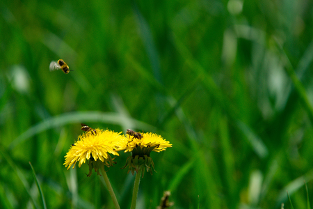 bee on yellow dandelion flower in green grass field sunny spring or summer outdoor on natural background, honey industry Stock Photo