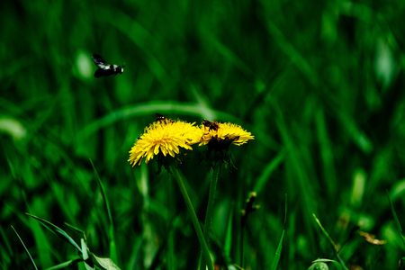 grass green color with bee on yellow dandelion flower in field sunny spring or summer outdoor on natural background, honey industry
