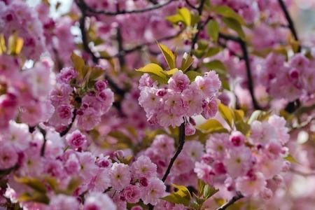 pink sakura or cherry blossom in spring season on natural background, japan