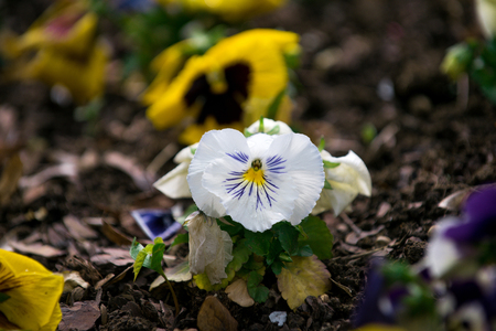 violet flowers or pansy with colorful petals and green leaves on ground flowerbed on natural background